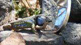 Mirror test made to a Gallotia galloti lizard in the north of Tenerife